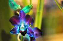 Purple blue orchid