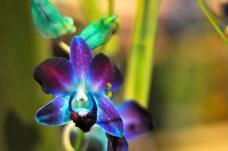 Purple blue orchid