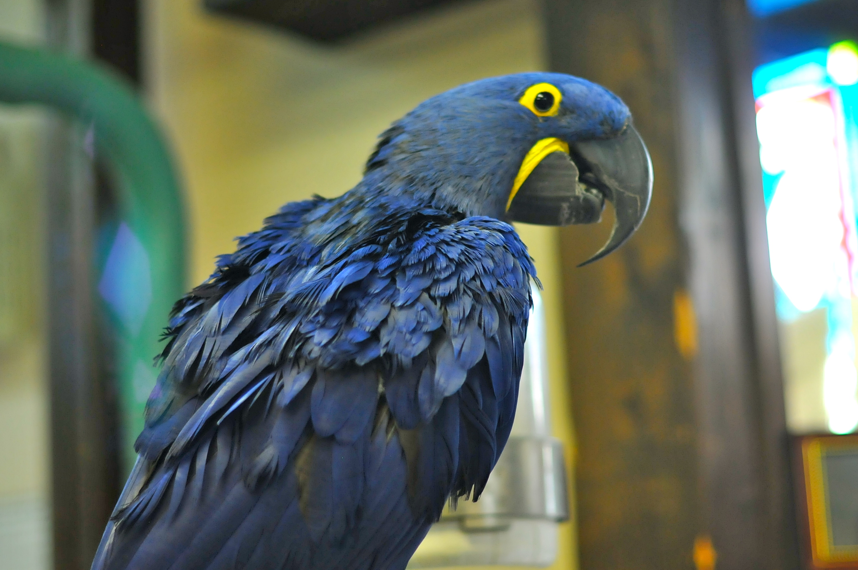 hyacinth macaw u2013 a little bit of this and that u2026