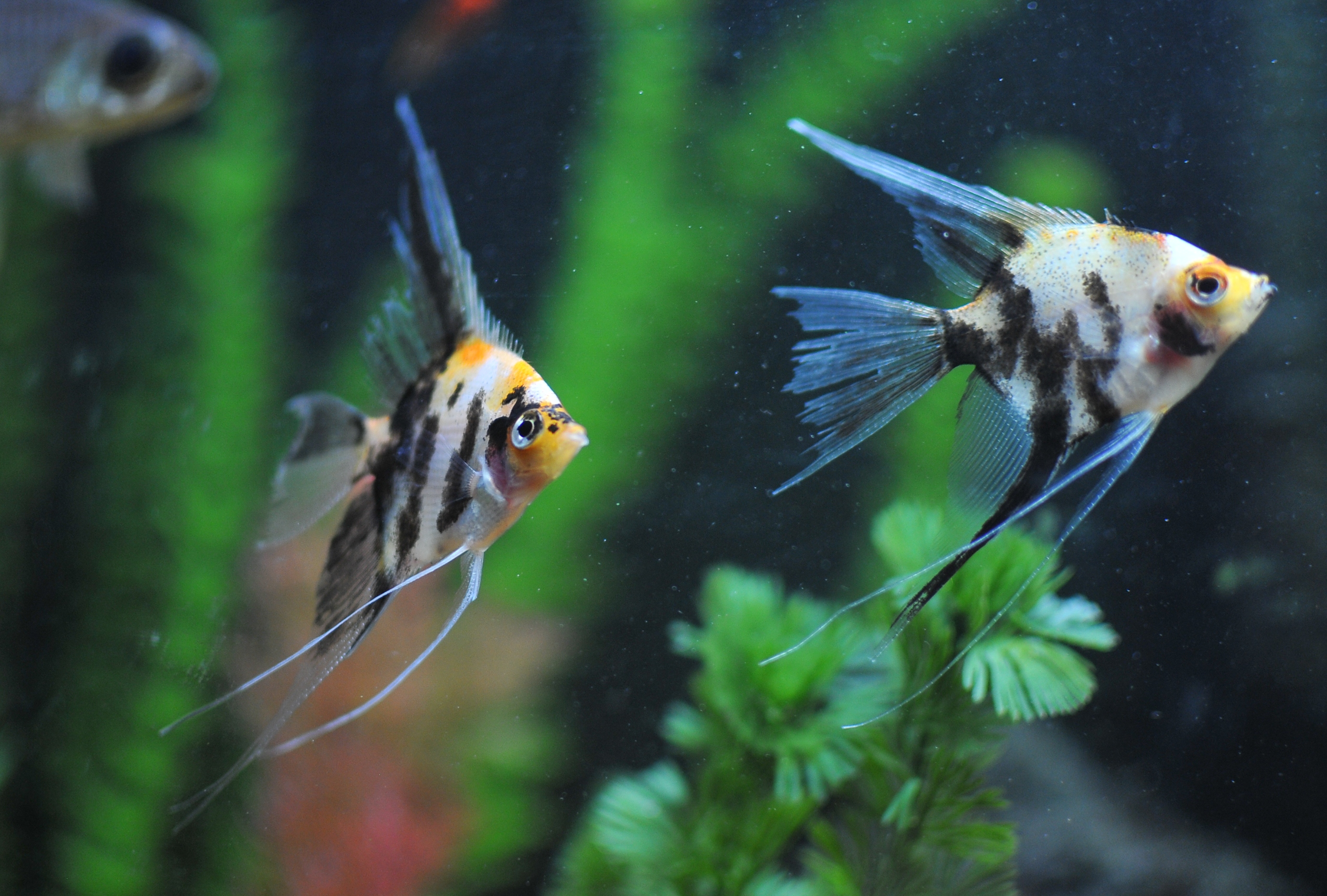 koi angel fish A little bit of this and that ...