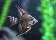 Black angelfish