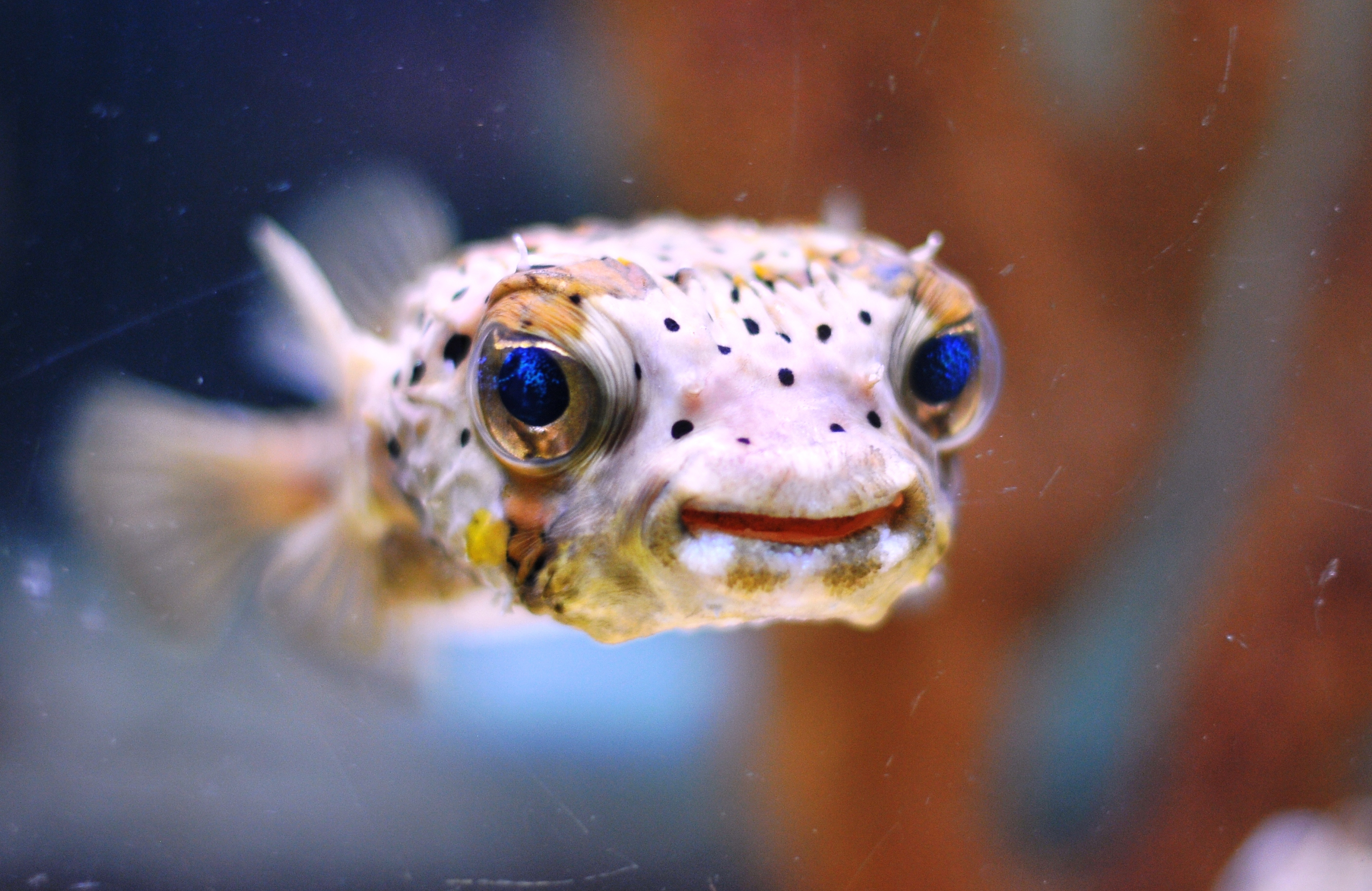 Porcupine puffer fish a little bit of this and that for A puffer fish