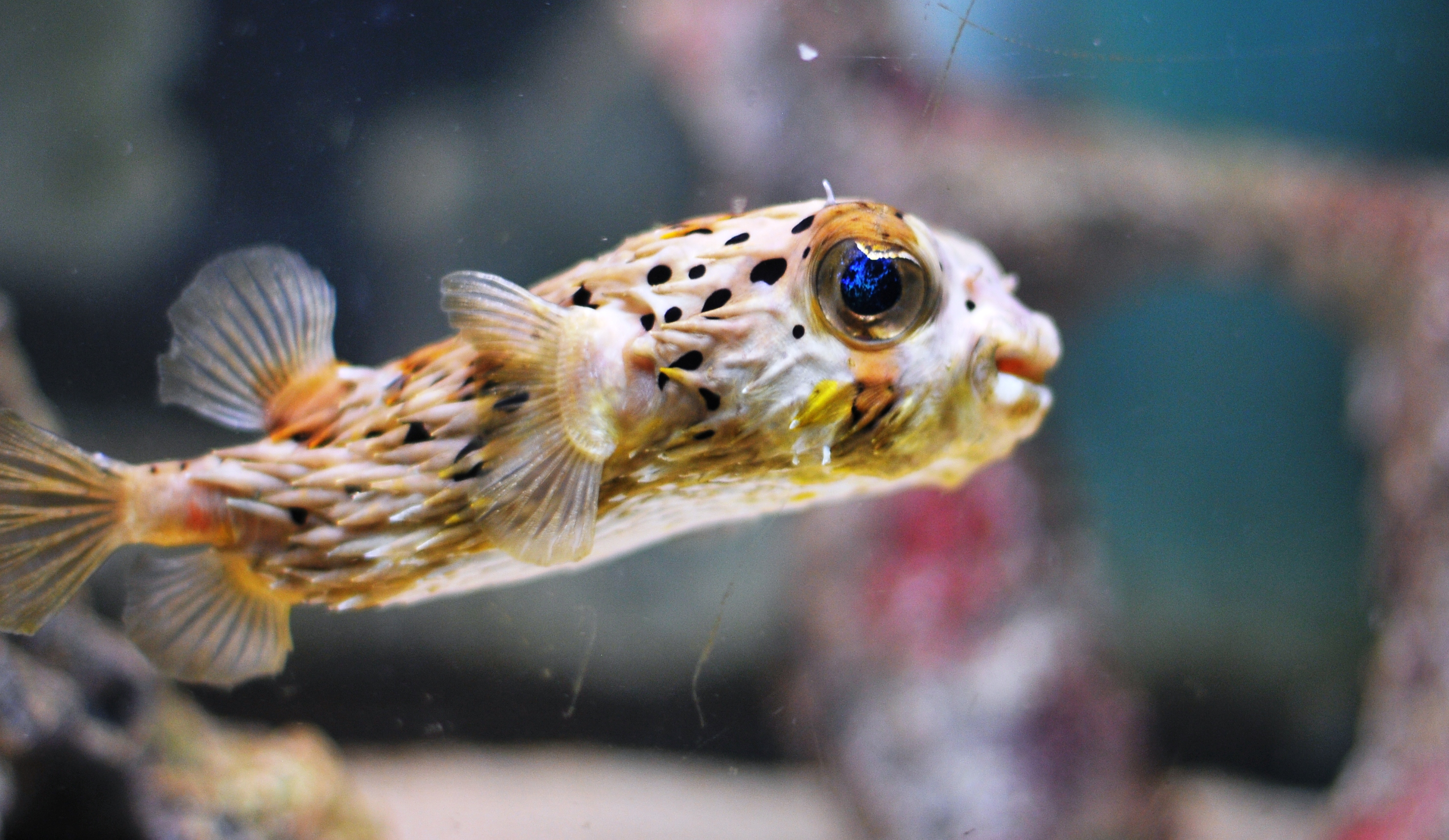 Porcupine puffer fish a little bit of this and that for Puffer fish puffing
