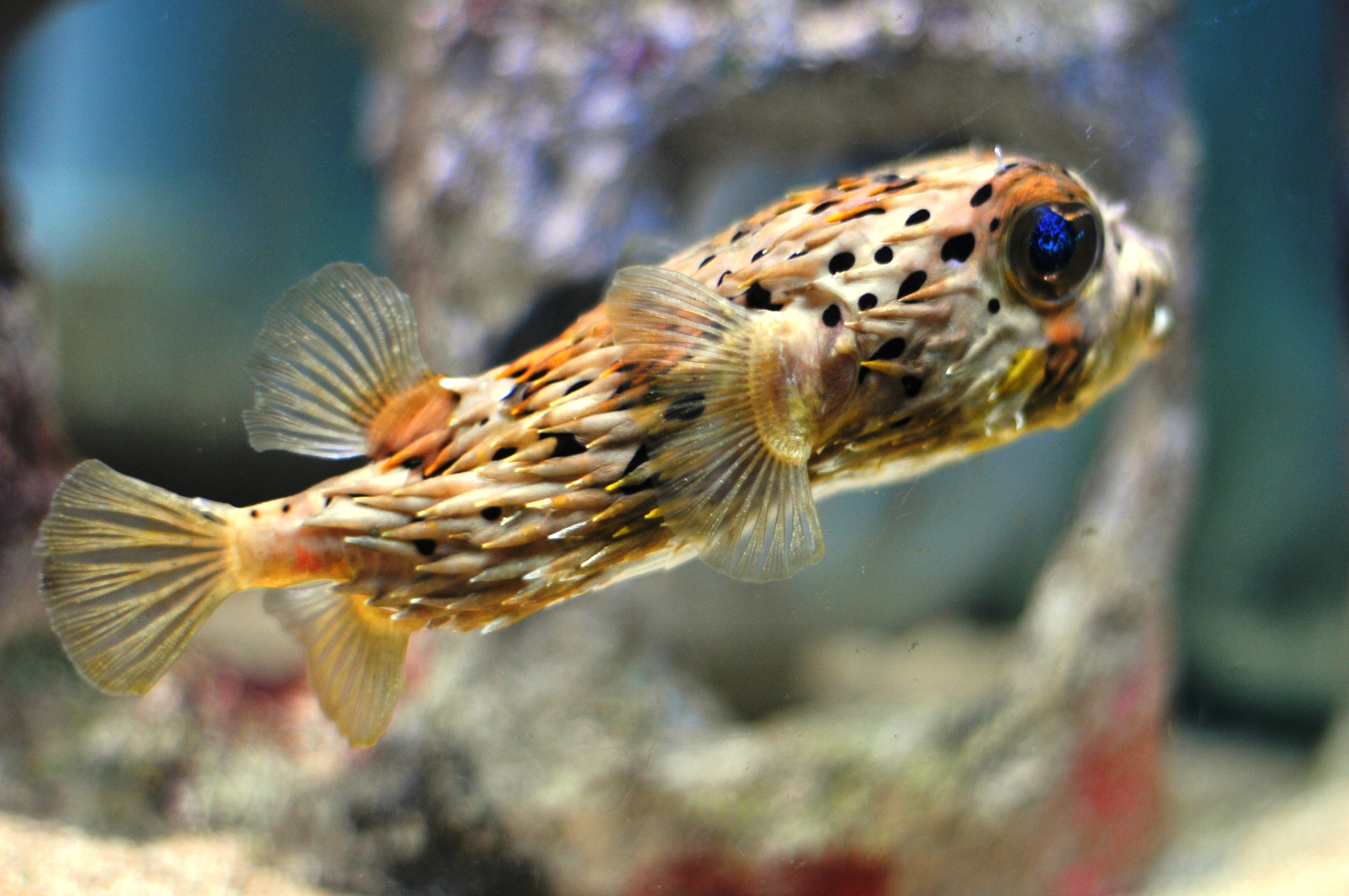 porcupine puffer fish – A little bit of this and that