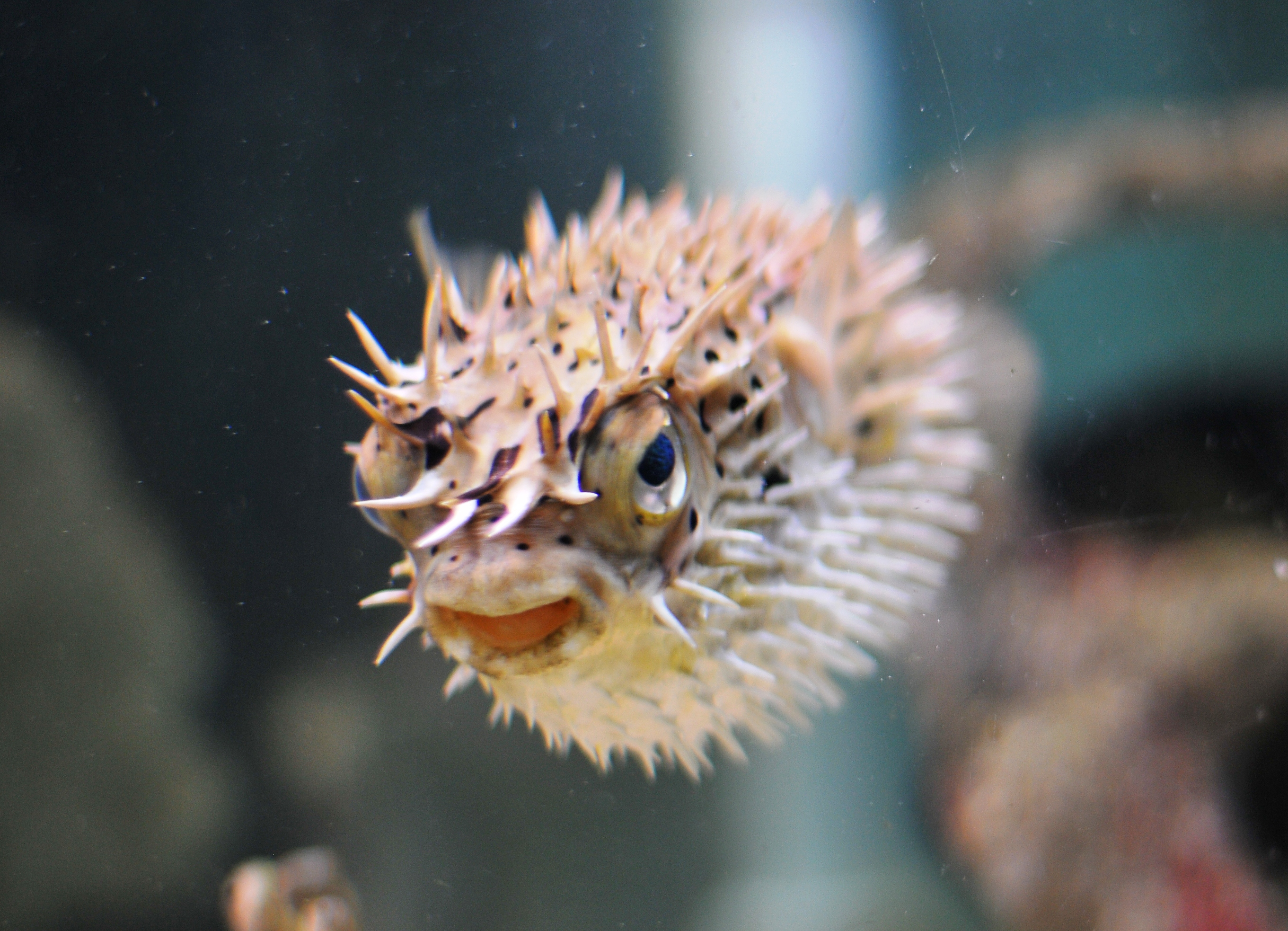 Porcupine puffer fish a little bit of this and that for Puffer fish aquarium