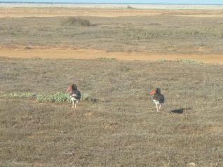 arubabirds