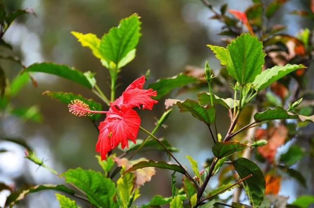 Hibiscus - national flower of Haiti