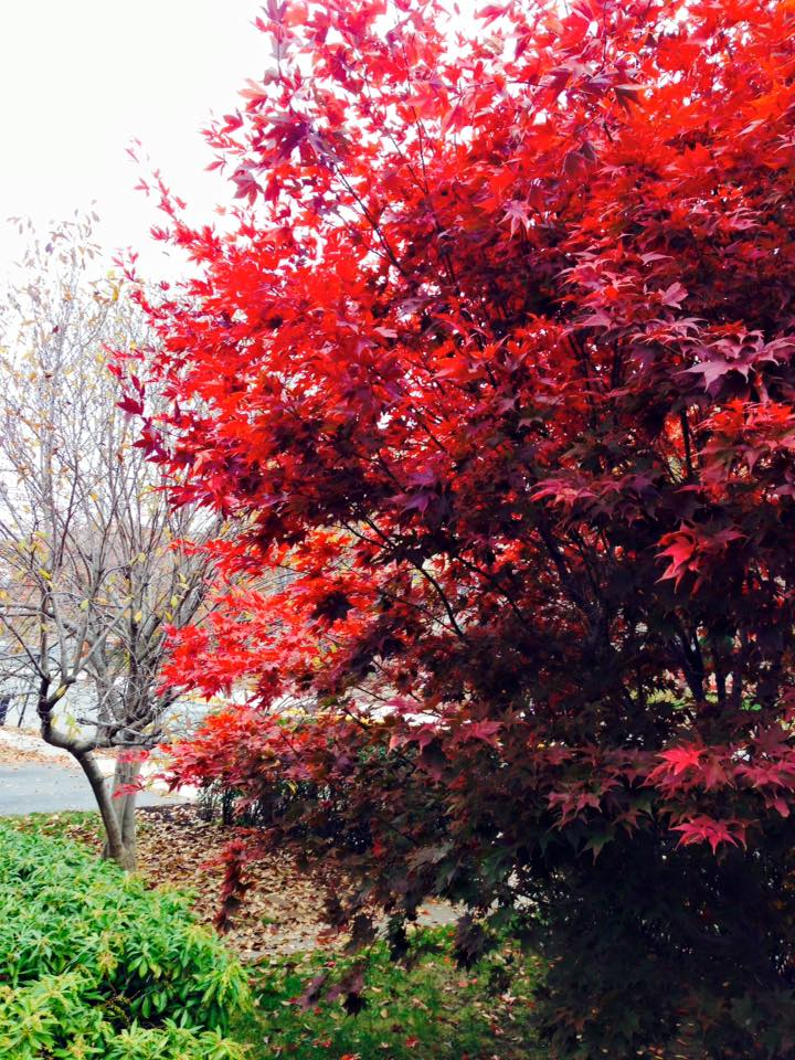 red tree1