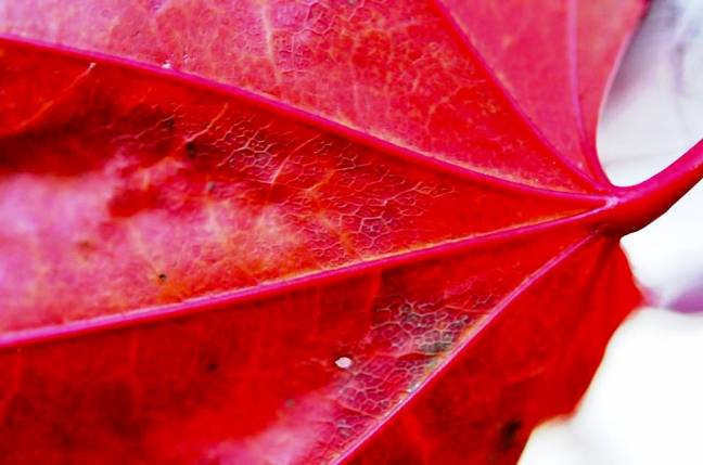 japanese-maple-leave-veins