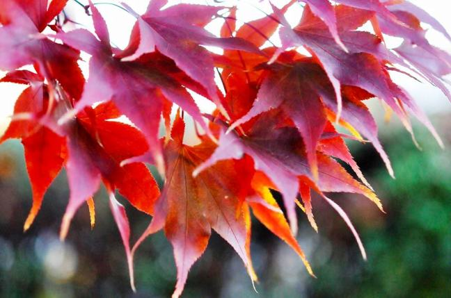japanese-maple-leaves2