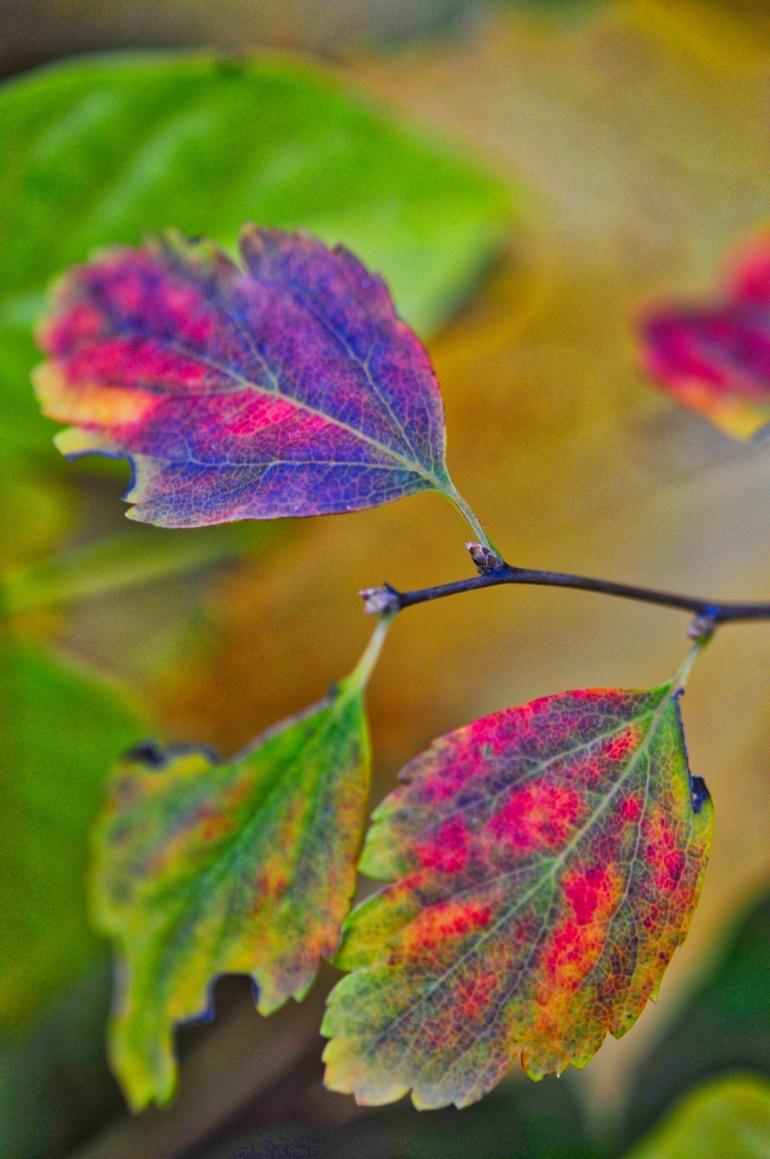 rainbow-leaf